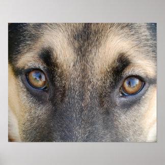 Ojos del pastor alemán poster