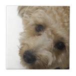 Ojos hermosos de un perrito de Yorkie Poo Azulejo Cuadrado Pequeño