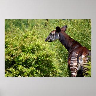 Okapi in the vegetation poster