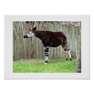 Okapi standing by a fence poster