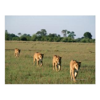 Okavango Delta, Botswana 4 Postcard