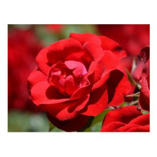 Oklahoma Rose Post Cards