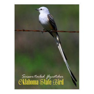 Oklahoma State Bird: Scissor-tailed Flycatcher Postcard