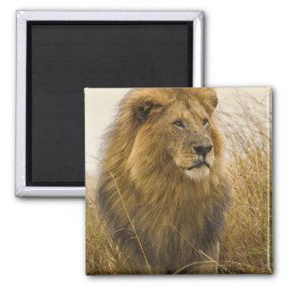Old adult black maned Lion, Masai Mara Game 2 Inch Square Magnet
