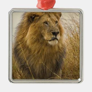 Old adult black maned Lion, Masai Mara Game Ornament