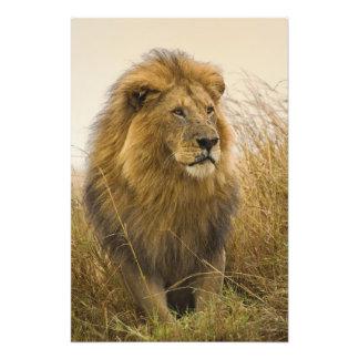 Old adult black maned Lion, Masai Mara Game Art Photo