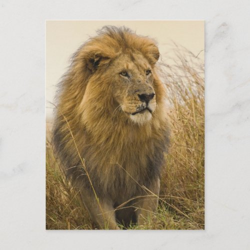 Old adult black maned Lion Masai Mara Game Postcard