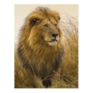 Old adult black maned Lion, Masai Mara Game Postcard