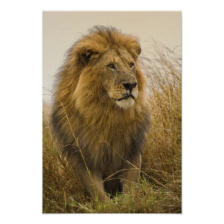 Old adult black maned Lion, Masai Mara Game Poster