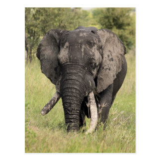 Old African elephant bull - broken tusk (Africa) Postcard