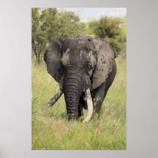 Old African elephant bull - broken tusk (Africa) Poster