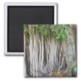 Old ancient ficus tree roots background picture magnet