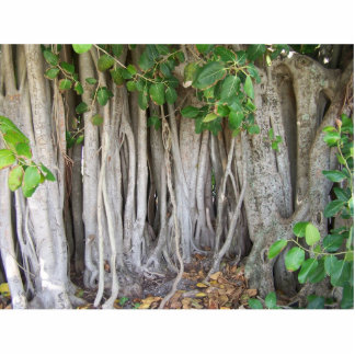 Old ancient ficus tree roots background picture acrylic cut out