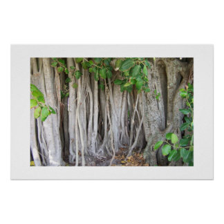 Old ancient ficus tree roots background picture print