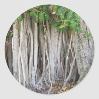 Old ancient ficus tree roots background picture stickers