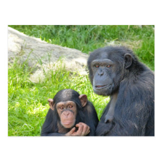 Old and Young Chimpanzee - Postcard