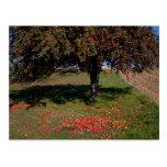 Old Apple Tree Postcard