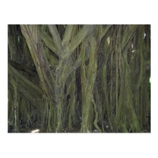 Old Banyan Tree Postcard