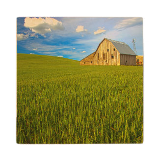 Old Barn in Field of Spring Wheat 2 Maple Wood Coaster