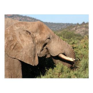 Old Bull Elephant Postcard