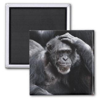 Old Chimpanzee magnet