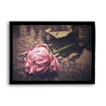 Old dryed vintage pink rose macro shot photo envelope