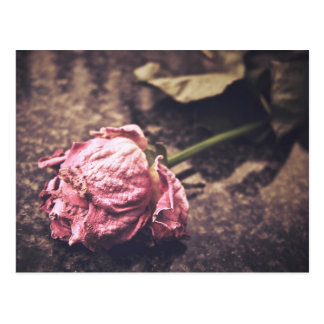 Old dryed vintage pink rose macro shot photo postcard