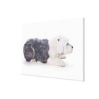 Old English Sheepdog on white background Canvas Print