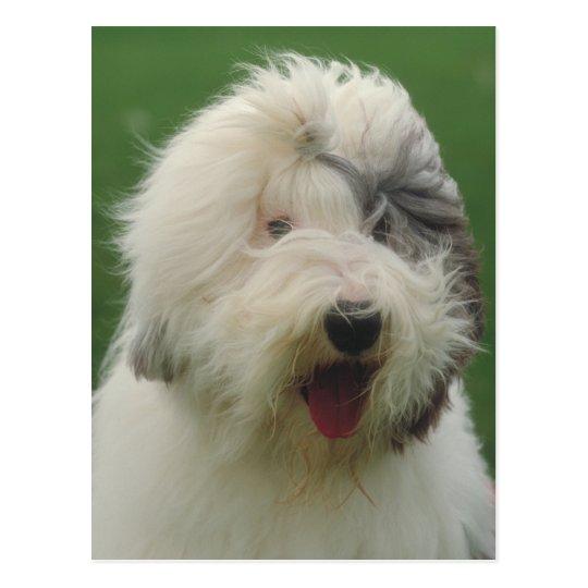 Old English Sheepdog Postcard