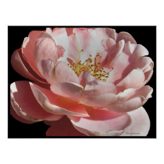 Old Fashioned Pink Rose Poster Print Print