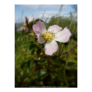 old-fashioned roses by Fox Creek & Columbia River Poster