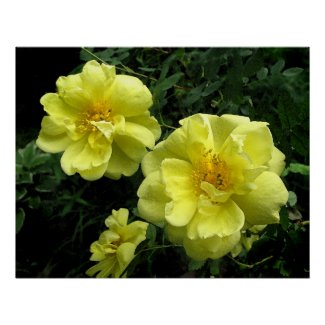 Old fashioned Yellow Rose Print