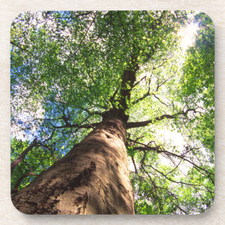 Old-Growth Beech Tree Beverage Coaster