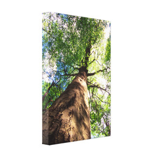 Old-Growth Beech Tree Canvas Print