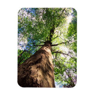 Old-Growth Beech Tree Magnet
