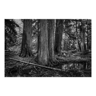 Old Growth Cedar Trees - Montana Poster