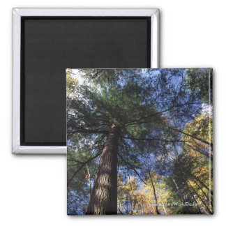 Old Growth Forest 2 Inch Square Magnet