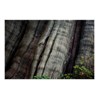 Old growth forest, British Columbia, Canada Photo Print