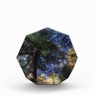 old growth hemlock tree award