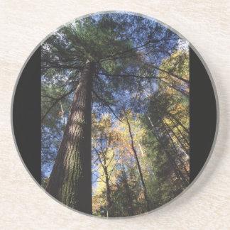 old growth hemlock tree coaster