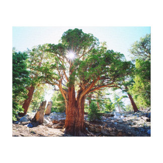 Old-growth Juniper tree in the Sierras Gallery Wrapped Canvas