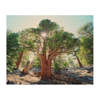 Old-growth Juniper tree in the Sierras Wood Prints