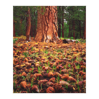 Old-growth Ponderosa tree with pine cones Canvas Prints
