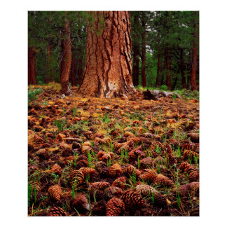 Old-growth Ponderosa tree with pine cones Poster
