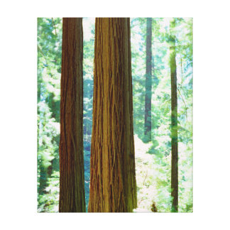 Old-growth Redwood trees Gallery Wrap Canvas