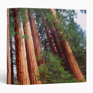 Old-growth Sequoia Redwood trees 3 Ring Binder