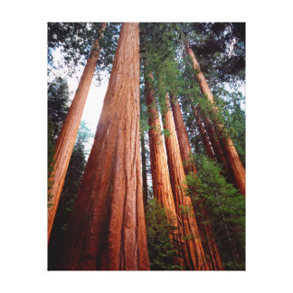 Old-growth Sequoia Redwood trees Stretched Canvas Prints