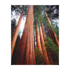 Old-growth Sequoia Redwood trees Canvas Print