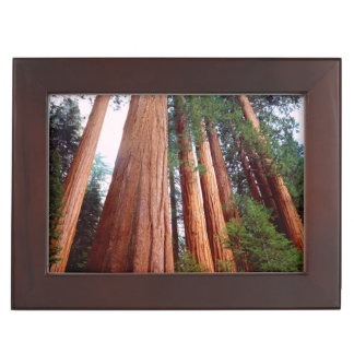 Old-growth Sequoia Redwood trees Memory Box