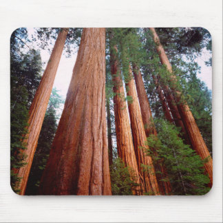 Old-growth Sequoia Redwood trees Mouse Pad